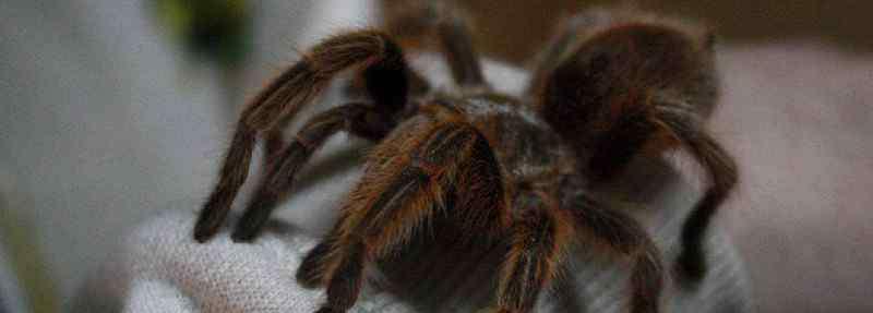 火玫瑰蜘蛛怎么养 火玫瑰蜘蛛怎么养