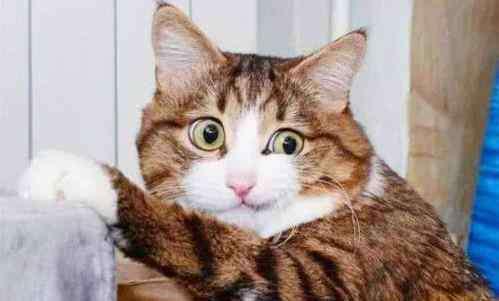 布偶猫要和人睡 布偶猫只认一个主人吗