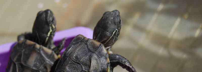 乌龟公母怎么区分 乌龟怎样辨别公母呢