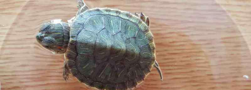 街上买的小乌龟怎么养 街上买的小乌龟怎么养