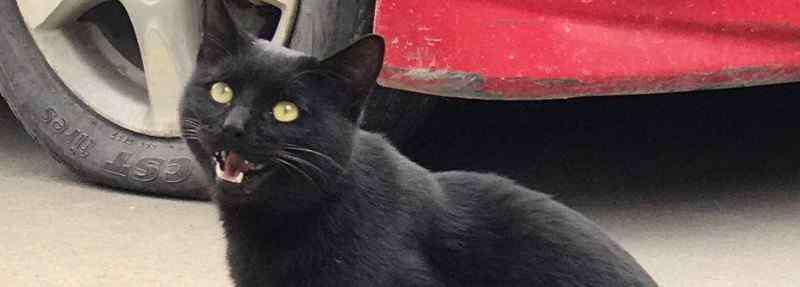 纯黑色的猫是什么品种 纯黑色的猫是什么品种