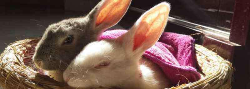 人的智商一般是多少 兔子的智商大概是人类的几岁
