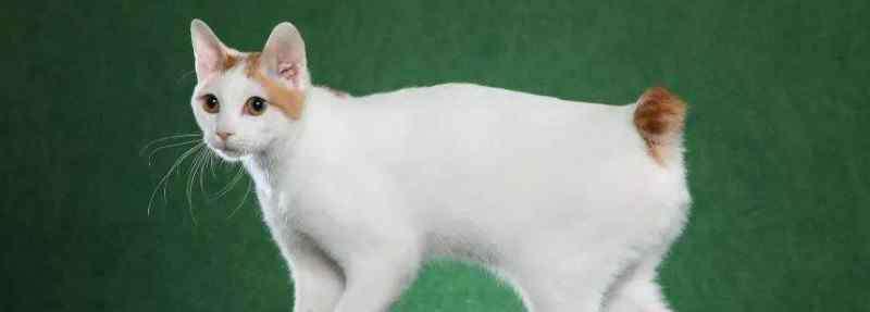 日本截尾猫 日本截尾猫多少钱一只,价格大概在3000-5000元之间