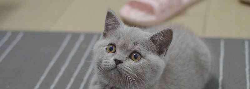 蓝猫英短 英短蓝猫有攻击性吗