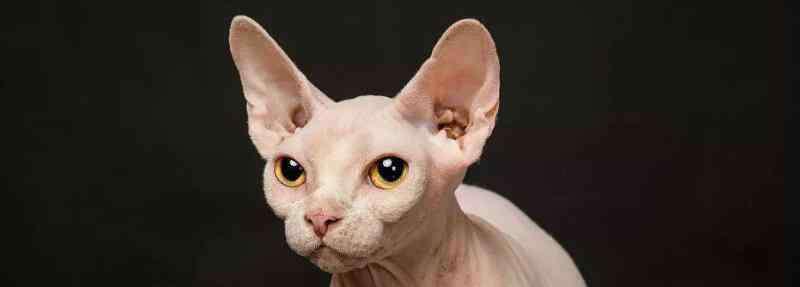 不掉毛的猫 哪种猫不掉毛,适合家养不掉毛的猫