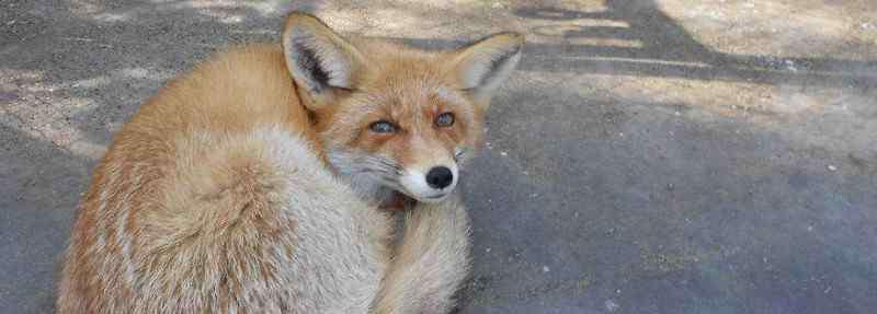 狐狸对主人忠诚吗 狐狸一般养多久认主人