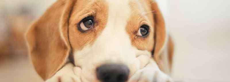 狗吐食物是怎么回事呢 狗狗吐黄水但是精神好怎么回事