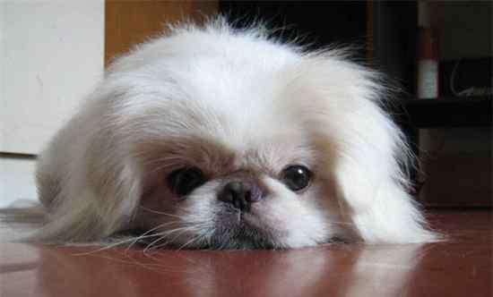 狗的平均寿命 京巴狗的寿命,平均能活13年若喂养得当能延长寿命
