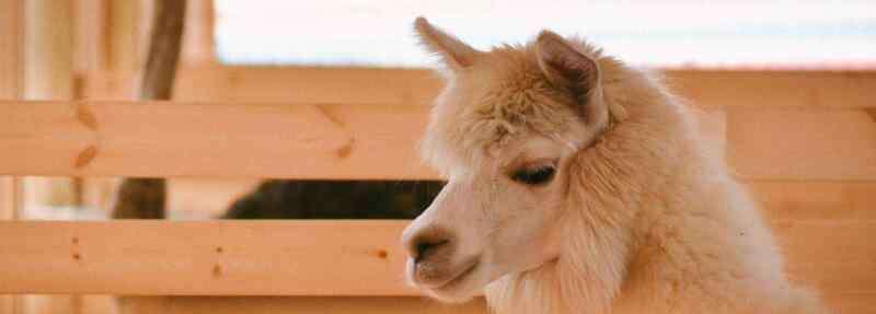 史宾格幼崽多少钱一只 宠物羊驼多少钱一只,羊驼幼崽的价格是多少