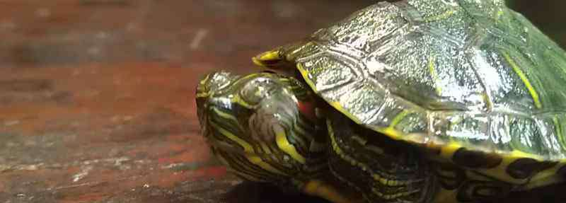 乌龟得了白眼病 乌龟得了白眼病