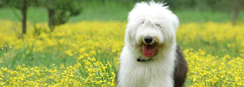 北京古牧 古牧幼犬价格大概多少,一只纯种犬需要3000-15000元