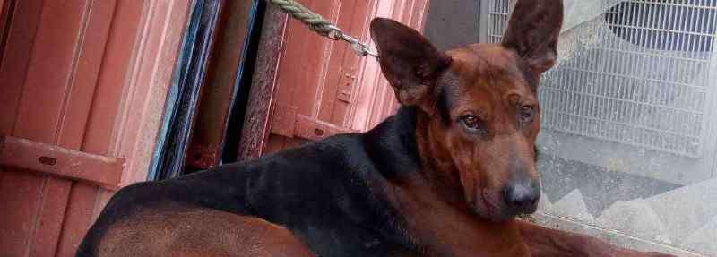 苏联红 苏联红犬多少钱一只,幼犬价格一般在2000元左右
