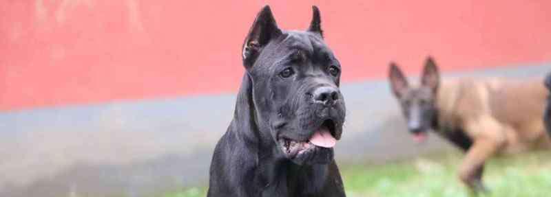 大型犬种类 短毛大型犬有哪些品种