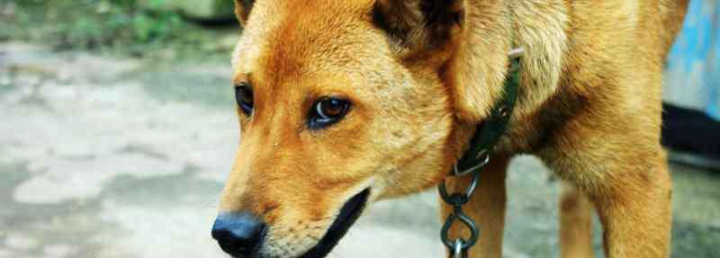 被吓到了是什么症状 狗狗受到惊吓后的症状,狗狗被吓到了是什么症状