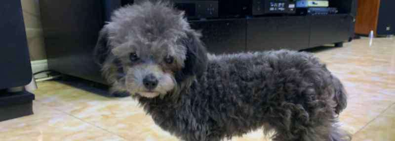 狗狗身上有皮屑怎么回事 泰迪狗身上有皮屑是怎么回事