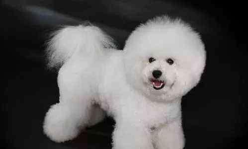 体味小不掉毛安静的狗 适合家养不掉毛的狗狗 很适合爱干净的主人