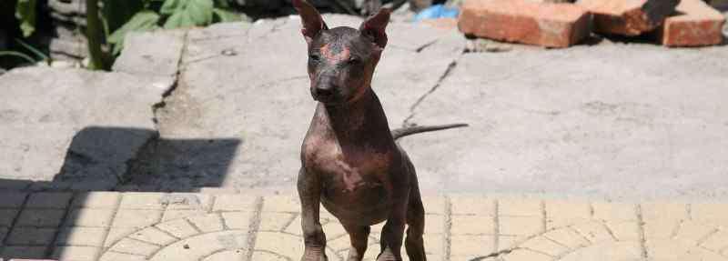 无毛犬 墨西哥无毛犬和印加无毛犬区别,二者体型差别较大