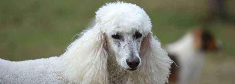 白色的小狗品种 白色卷毛狗是什么品种
