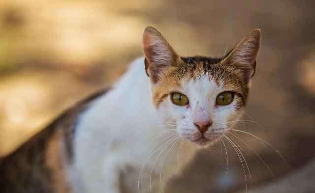 猫的智商排名 猫咪智商排行榜1-100名