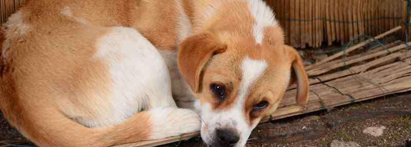 最忠诚的狗 十大忠诚的狗排名