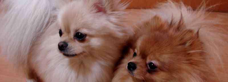 狗狗肛门腺发炎怎么办 狗狗屁股上长了个脓包怎么办,是什么原因造成的
