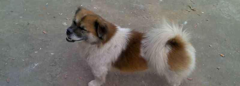 犬瘟热初期症状 狗狗得犬瘟的初期症状