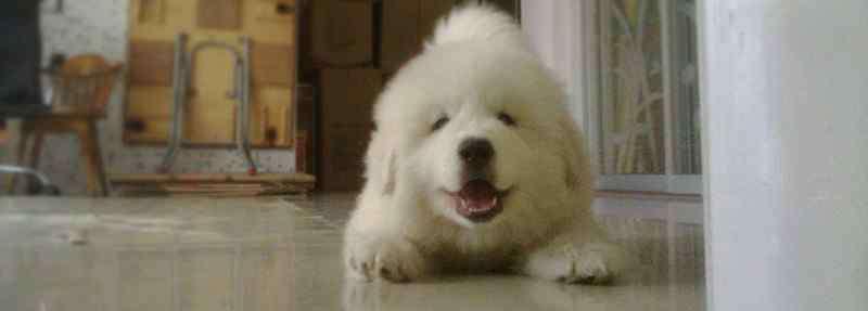 小白熊犬 小白熊狗多少钱一只啊,纯种价格一般在1200元以上