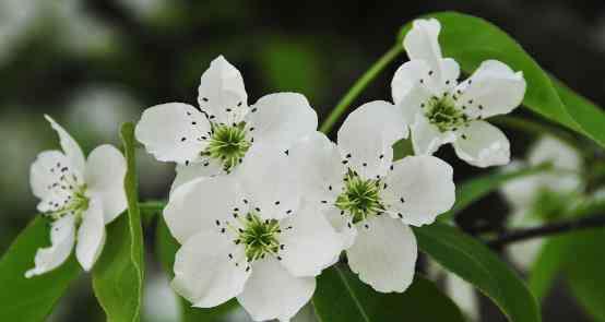 苹果花茶 苹果花茶的功效与作用,喝苹果花茶的禁忌有哪些?