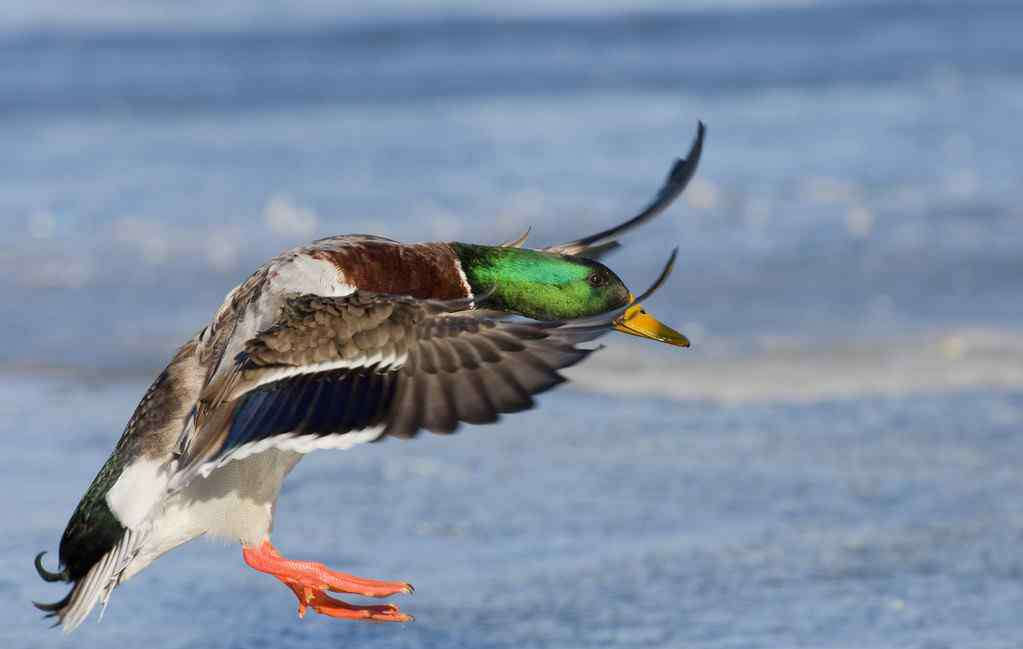 野鸭养殖 野鸭怎么养