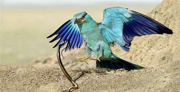鸩鸟 鸩鸟灭绝了吗