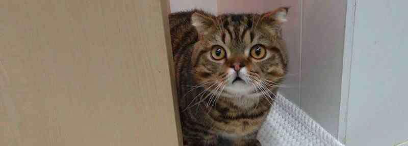 曼赤肯 曼赤肯猫多少钱一只比较靠谱,市场价格一般在3000-5000元