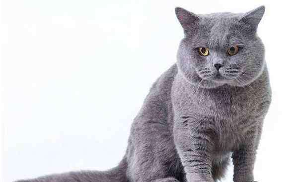 猫怕热吗 英短蓝猫能承受的温度