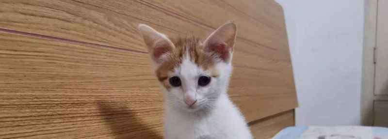 猫传腹早期症状 猫传腹早期症状