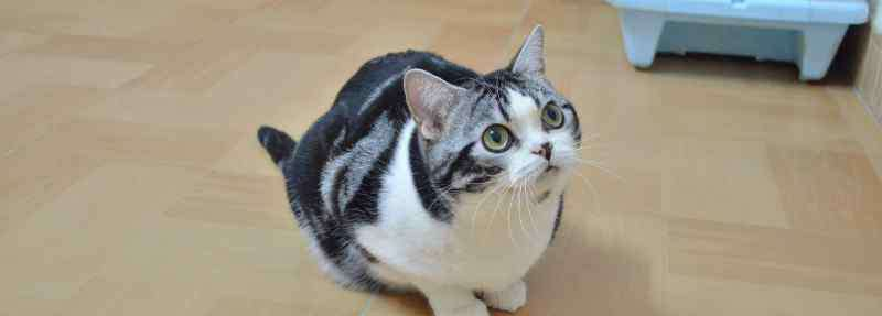 美短猫优缺点 美短虎斑猫的优缺点