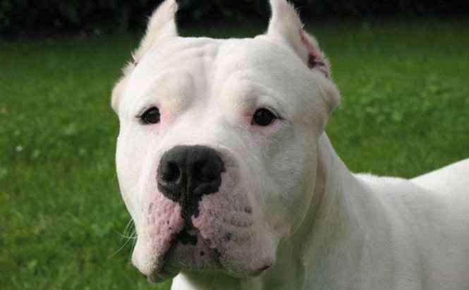 杜高犬的优缺点 杜高犬十个不养的理由