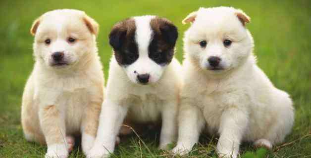 犬瘟症状前兆 狗狗狗瘟好转的征兆