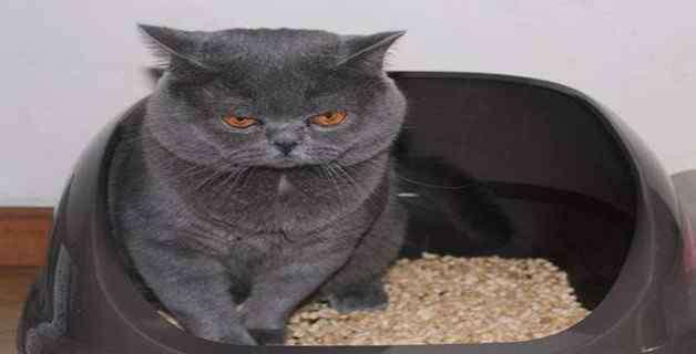 猫咪肚子圆鼓鼓的 猫肚子两侧鼓是传腹吗