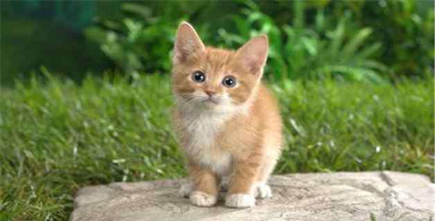 猫杯状病毒 猫杯状病毒可以自愈吗