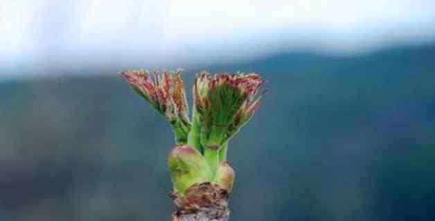 刺老芽树全图 刺老芽指的是什么树