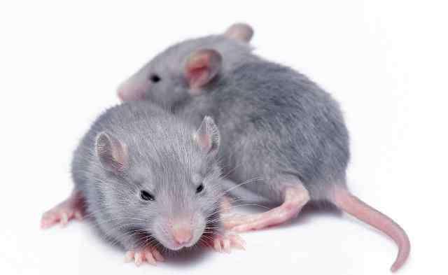 洗洁精多久毒死老鼠 洗洁精毒死老鼠的原理
