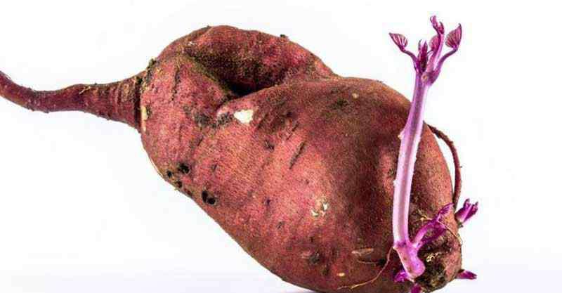 发芽的红薯能吃吗 发芽的山芋还能吃吗