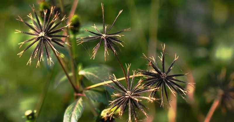 羽叶鬼针草 鬼针草有哪几种