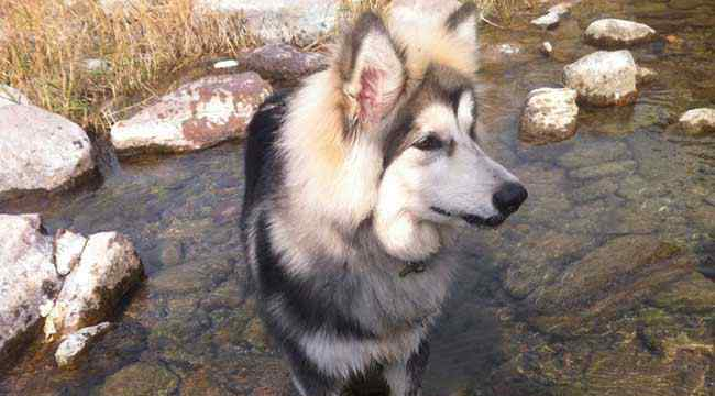 阿拉斯加犬训练 阿拉斯加雪橇犬怎么训练?