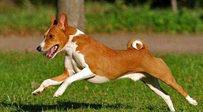 贝生吉犬 巴仙吉犬怎么养?