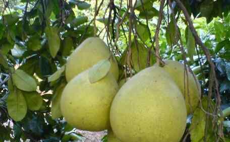 沙田柚功效与作用 沙田柚的功效与作用 吃沙田柚的好处