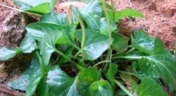 犁头草的功效与作用图片 犁头草的功效与作用 犁头草的副作用