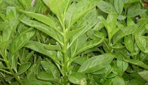三七草 三七草的功效与作用 三七草的药用价值