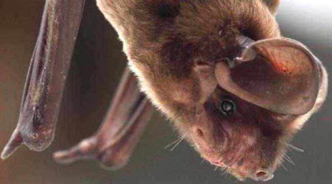被蝙蝠咬了怎么办 被蝙蝠咬了会怎么样?