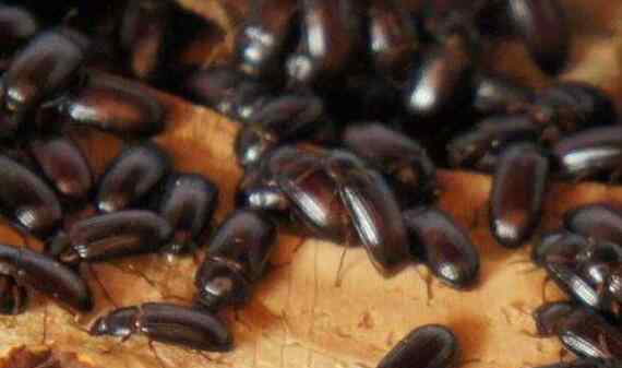 九龙虫的功效与吃法 九龙虫的功效与吃法