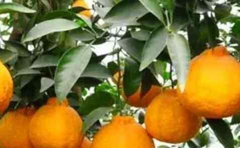 丑橘的功效与作用 丑柑的功效与作用